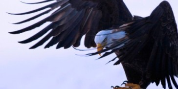 Bald Eagle (Haliaeetus leucocephalus), flying